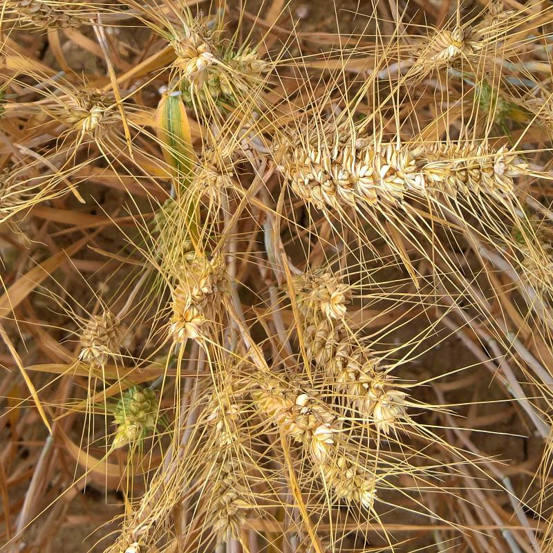 Awned wheat - Lois Wakeman